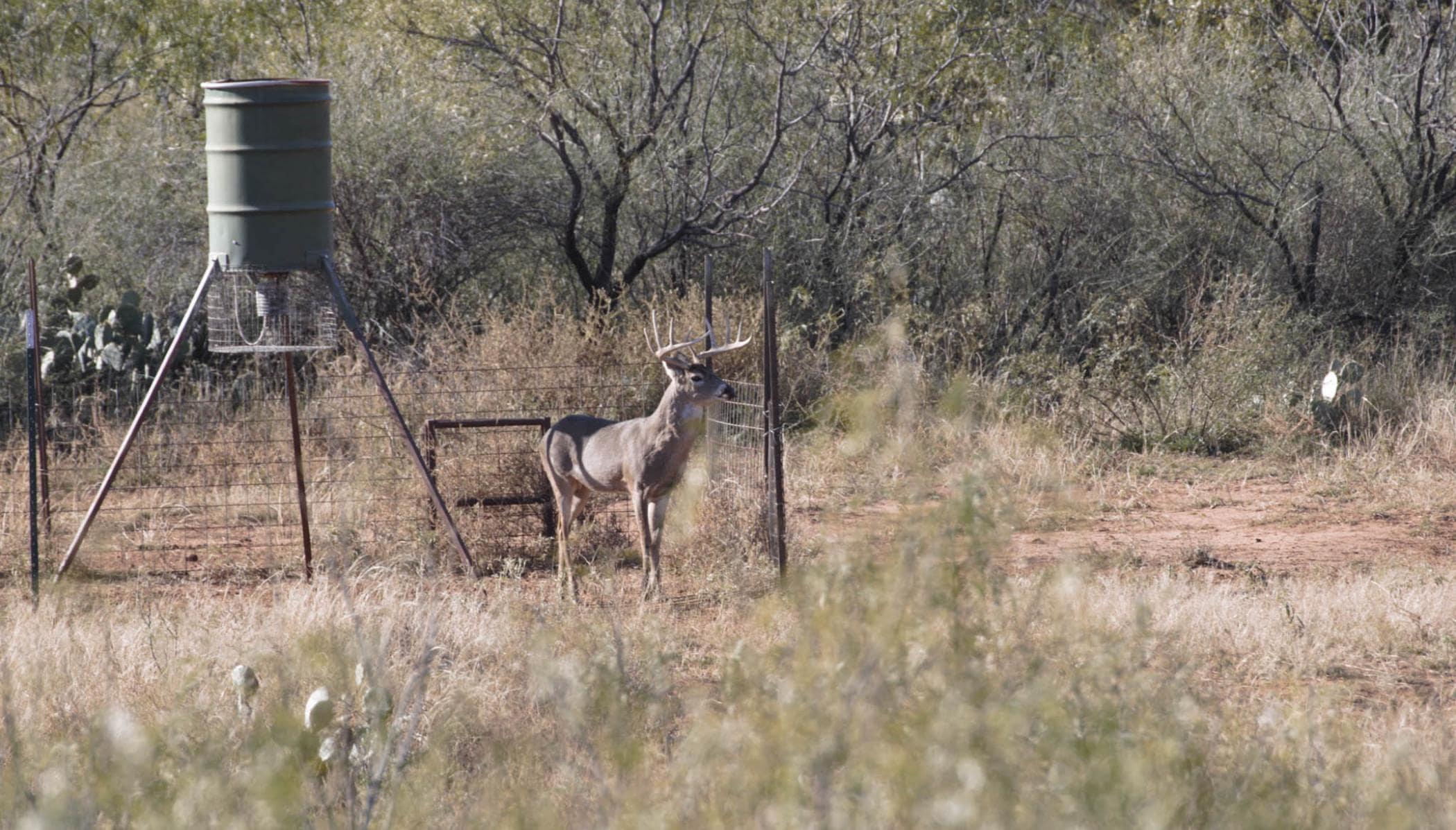 buck deer standing near corn feeder at saddle ridge ranch