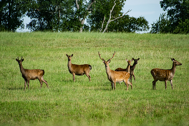 six deer on grassy pasture at sugar ridge ranch
