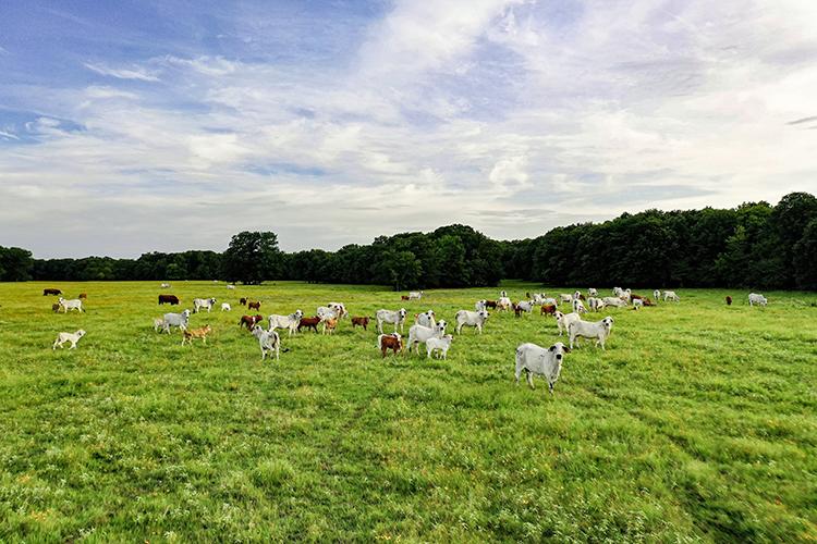 livestock on grassy pasture at Sulphur River ranch