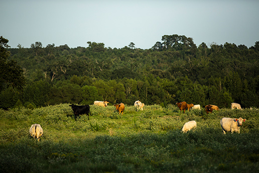herd of cows grazing on a grassy field at triple creek ranch with lake and forest behind